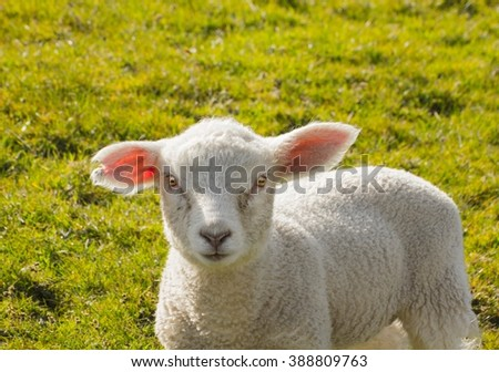 Young sheep walk on green grass. - stock photo