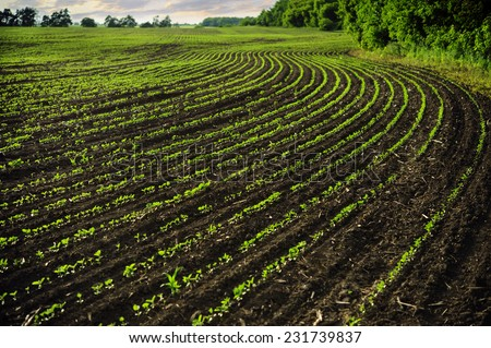 Young shoots are growing in rows on the farmer's field. Spring. - stock photo