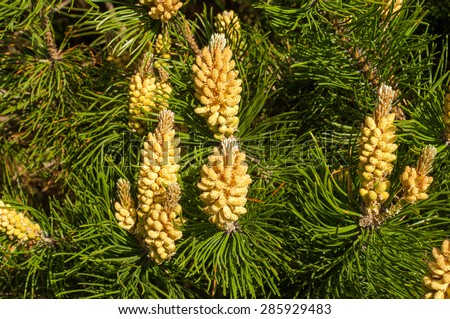 Young shoots of pine. Young shoots on the branches of pine. Young shoots of pine trees in the forest spring. bud pollination pinecone, vertical shoot - stock photo