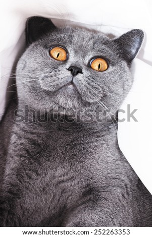 Young short-haired British gray cat close up - stock photo