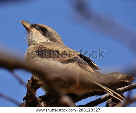 Young shrike among branches - stock photo