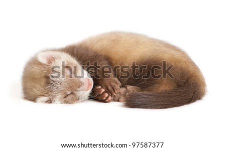 young siamese sable Ferret kit (4 weeks) - stock photo
