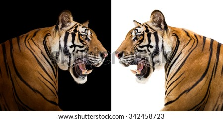 Young siberian tiger in action of growl isolated on black and white background - stock photo