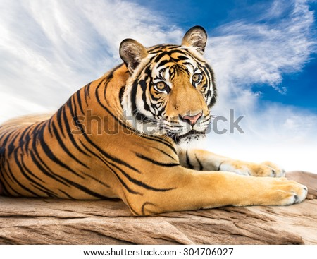 Young siberian tiger in the act of relax on stone and blue sky background - stock photo