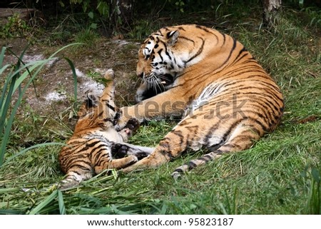 young Siberian Tiger is playing with his mother - stock photo