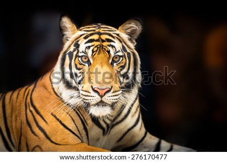 Young siberian tiger on dark background in action of looking to the camera - stock photo