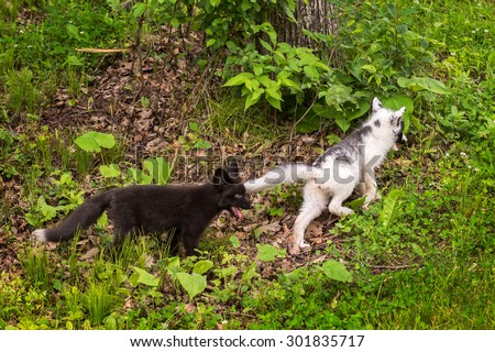 Young Silver Fox Chases after Young Marble Fox (Vulpes vulpes) - captive animals - stock photo