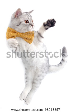 young silver tabby Scottish cat with bow tie playing - stock photo