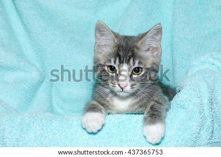 young six week old black and white tabby kitten sitting laying on an aqua teal colored blanket resting watching looking forward and downward - stock photo