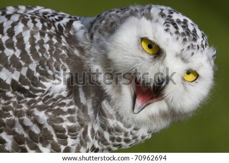 young snow owl with open beak, bill, pecker - stock photo