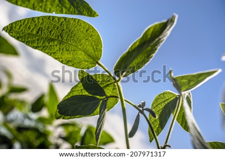 Young soybean leaves close-up at the farmer's field on a background of blue sky - stock photo