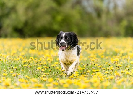 Young Spaniel in a field of dandelions in the UK - stock photo