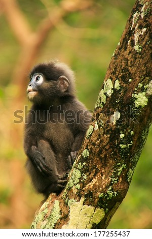 Young Spectacled langur sitting in a tree, Wua Talap island, Ang Thong National Marine Park, Thailand - stock photo