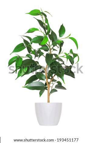 young sprout of ficus a potted plant isolated over white  - stock photo