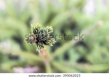 Young sprout of spruce - stock photo