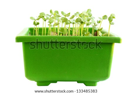 Young sprouts flax in a green container - stock photo
