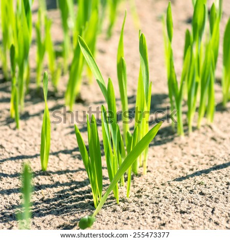 Young sprouts of wheat close up - stock photo