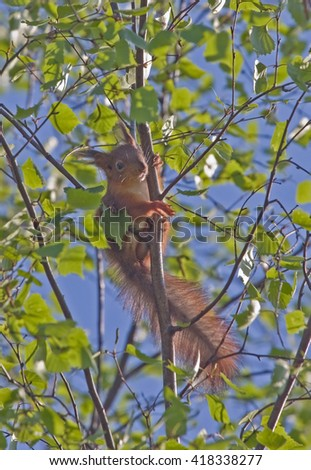 Young squirrel sitting on the branch. Eurasian red squirrel (Sciurus vulgaris). - stock photo