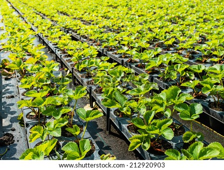 Young strawberry plants ready to plant. - stock photo