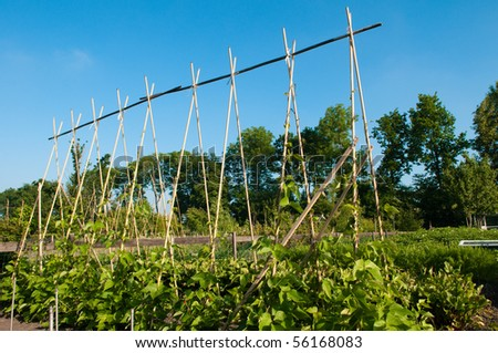 young string beans - stock photo