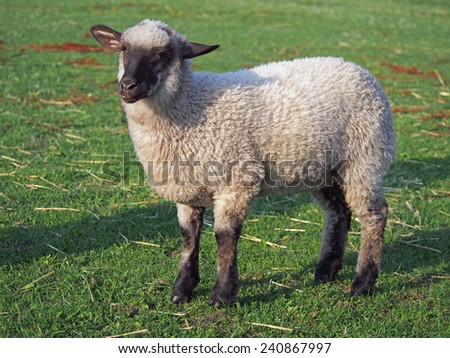 Young suffolk sheep on a green pasture - stock photo