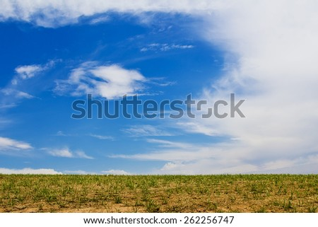 Young sugar cane plantation with blue sky in background. Brazil. - stock photo