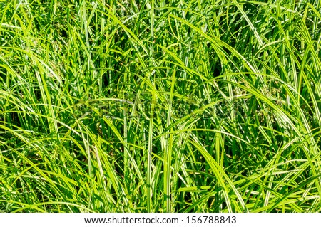 Young sugar cane stem - stock photo