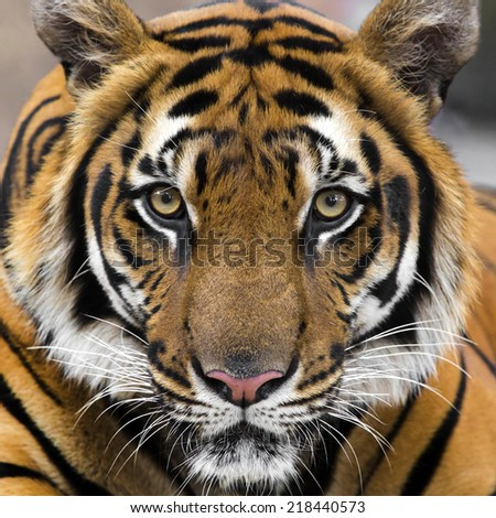 young sumatran tiger - stock photo