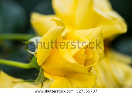 Young Sun Flare Rose or Yellow Rose in Garden, Thailand. - stock photo