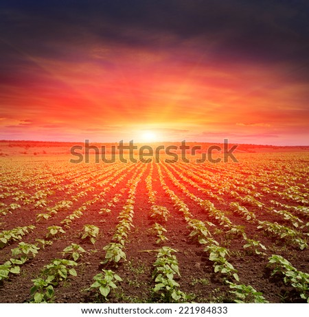 young sunflower spouts on field against sunset background  - stock photo