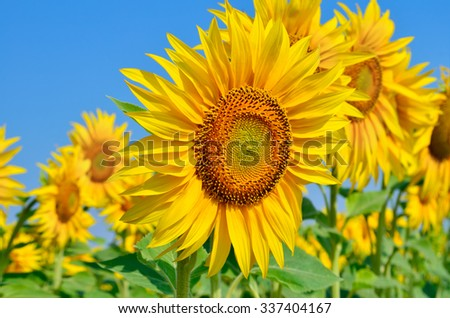 Young sunflowers bloom in field against a blue sky - stock photo