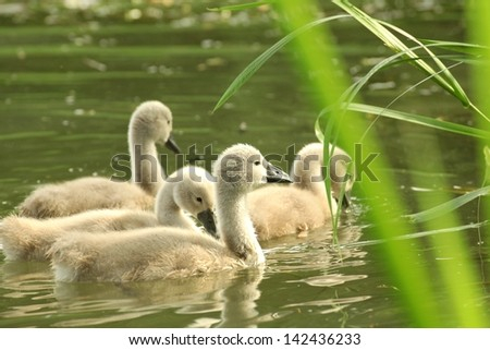 Young swans in a forest pond. - stock photo
