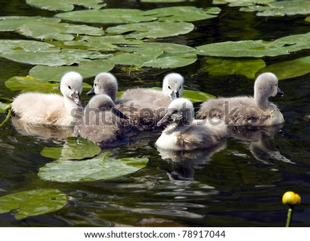Young swans in the green grass - stock photo