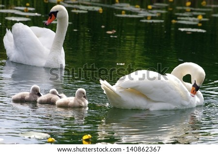Young swans with parents on the water - stock photo