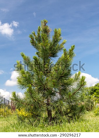 Young Swiss pine growing in the backyard shot over blue sky - stock photo