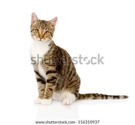 young tabby cat. isolated on white background - stock photo