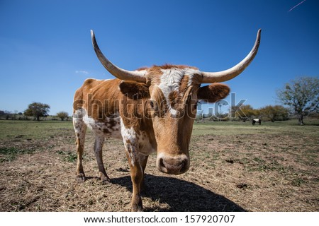 Young Texas Longhorn Cow with white and brown markings (left 3/4 front view) - stock photo