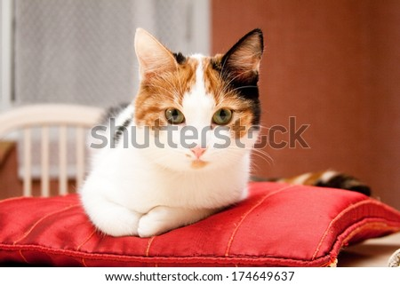 Young three-colored cat lying on the red pillow - stock photo