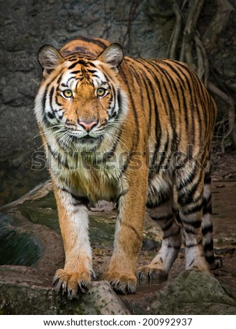 Young tiger prey staring - stock photo