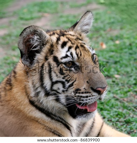 young tiger sits in the grass - stock photo