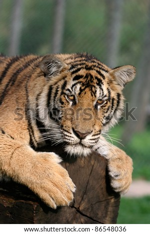 young tiger sits on a tree-trunk in thailand - stock photo