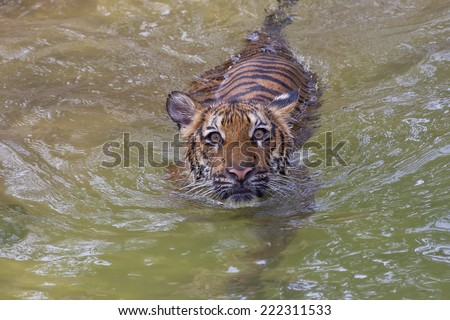 Young Tiger Swimming - stock photo