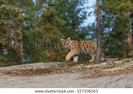 young tiger walk in the wood - stock photo