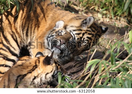 young tigers - stock photo