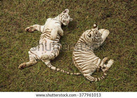 Young tigers in mauritius - casela park - stock photo