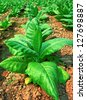 Young Tobacco plant in field - stock photo