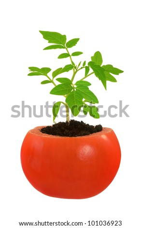 Young tomato plant growing, evolution concept, isolated on white - stock photo