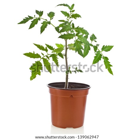young tomato plant in flowerpot isolated on white background - stock photo