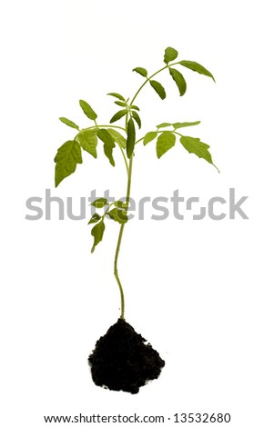 young tomato plant. isolated on white - stock photo