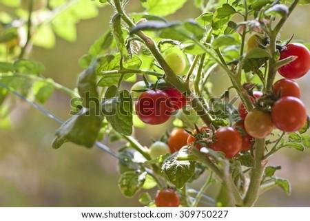 Young tomato plants - stock photo